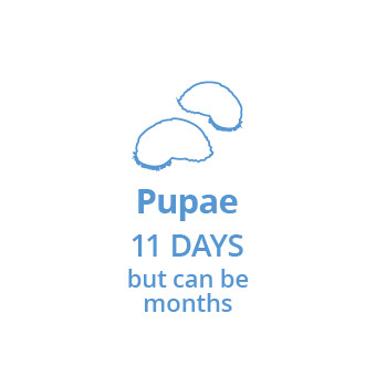 Stage 3: Larave turn into pupae in approximately 11 days which stay well protected in a cacoon until they get close enough to your pet to emerge as fleas