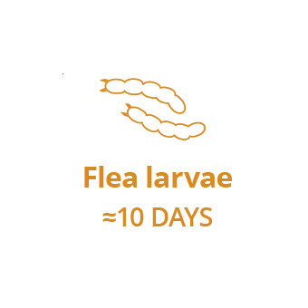 Stage 2: The flea eggs hatch as larvae, burrowing into your carpets, down cracks in floorboards, and under furniture, unaffected by some monthly treatments.